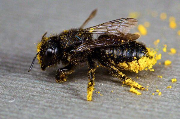یک چهارم گونه های زنبور نایاب شده اند